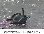 Small photo of Swan song on the water