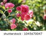 beautiful pink climbing roses... | Shutterstock . vector #1045670047