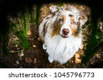 Small photo of Red merle australian shepherd dog with amazing eyes sitting under the conifers.