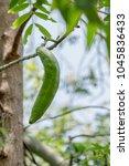 white silk cotton tree kapok... | Shutterstock . vector #1045836433