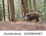 group of wild boars  sus scrofa ... | Shutterstock . vector #1045844467