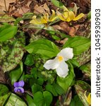 Small photo of Colorful assortment of spring flowers in a forest with trout lily, blue violet and white trillium