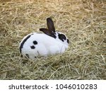 Small photo of White rabbit with brown spot