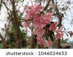 Pink Oleander On A Natural...