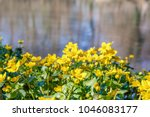 blooming caltha palustris ... | Shutterstock . vector #1046083177