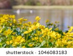 blooming caltha palustris ... | Shutterstock . vector #1046083183