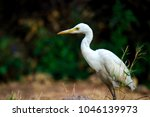 the cattle egret is a...   Shutterstock . vector #1046139973