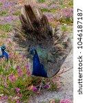 Wild Peacock On Brownsea Island