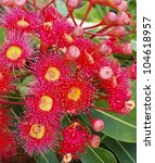 Small photo of gum flowers of Eucalyptus summer red corymbia Australiana