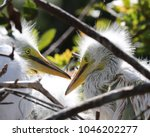two young great egret babies in ...   Shutterstock . vector #1046202277