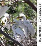 fuzzy white egrets in nest...   Shutterstock . vector #1046202283