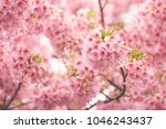pink cherry blossom cherry... | Shutterstock . vector #1046243437