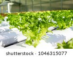 fresh green hydroponic lectuce...   Shutterstock . vector #1046315077
