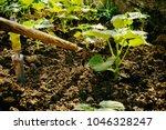 growing vegetables in the garden | Shutterstock . vector #1046328247