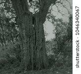 beutiful old tree in reserve in ...   Shutterstock . vector #1046340067