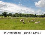 sheep grazing in a summertime... | Shutterstock . vector #1046412487