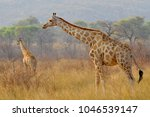 two giraffes  giraffa  in... | Shutterstock . vector #1046539147