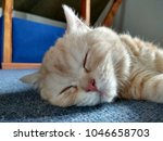 Stock photo sleeping kitten head with light fur kitty pet animal portrait lovely little cat relaxing small 1046658703