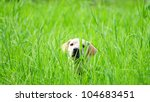 Beautiful Labrador retriever female hiding in the green tall grass waiting for her owner - stock photo