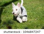 purebred adult west highland... | Shutterstock . vector #1046847247