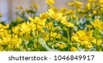 blooming caltha palustris ... | Shutterstock . vector #1046849917