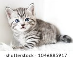 Stock photo cute kitten is sitting striped kitten kitten for advertising your products 1046885917
