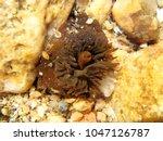 Small photo of Sea anemone actinia alive
