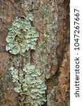 Small photo of Foliose lichen (one of a variety of lichens, which are complex organisms that arise from the symbiotic relationship between fungi and a photosynthetic partner)