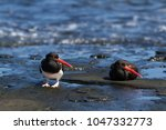 american pied oystercatcher ...   Shutterstock . vector #1047332773
