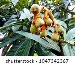 loquat green fruits  eriobotrya ... | Shutterstock . vector #1047342367