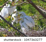 hungry young egret chicks have...   Shutterstock . vector #1047363277