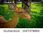 Close Up Deer  In Khao Kheow...