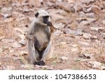 gray langur also known as... | Shutterstock . vector #1047386653