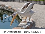 pelican at the zoo by the water | Shutterstock . vector #1047433237