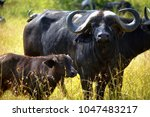 wild big buffalo | Shutterstock . vector #1047483217