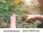 close up of hand picking chili... | Shutterstock . vector #1047494743
