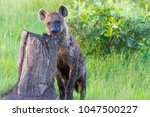 young spotted hyena in botswana | Shutterstock . vector #1047500227