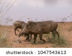 warthog with family in south... | Shutterstock . vector #1047543613