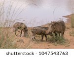 warthog with family in south... | Shutterstock . vector #1047543763