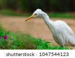 the cattle egret is a...   Shutterstock . vector #1047544123