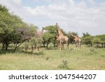 giraffe herd in africa bush... | Shutterstock . vector #1047544207