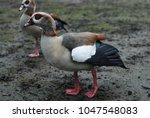 Wild Egyptian Gray Goosey At...