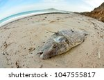 dead fish stranded on the beach ... | Shutterstock . vector #1047555817