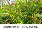 acrostichum speciosum  the...   Shutterstock . vector #1047556507
