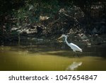 blurred egret finding fish in...   Shutterstock . vector #1047654847