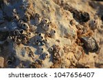 Small photo of Balanidae on stone lit by setting sun