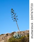 "Small photo of View of a typical agave cactus ""Agave americana"" in South Portugal"