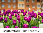 bright tulips blooming  spring... | Shutterstock . vector #1047735217