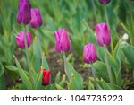 bright tulips blooming  spring... | Shutterstock . vector #1047735223