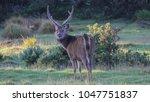 sambar stag staring at camera... | Shutterstock . vector #1047751837